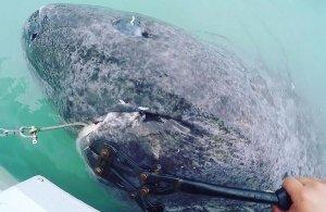 Ανακαλύφθηκε καρχαρίας ηλικίας 512 ετών (!)
