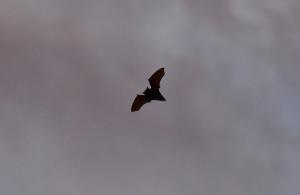 Ινδία: Τουλάχιστον 10 νεκροί από τον ιό Νίπα που μεταδίδεται από τις νυχτερίδες