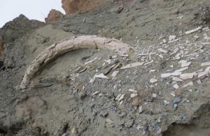 Κοζάνη: Προϊστορικός χαυλιόδοντας, μήκους δύο μέτρων, εντοπίστηκε στο ορυχείο Αμυνταίου της ΔΕΗ