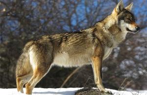 Κοπάδι λύκων κατέβηκε στο Πήλιο — Σε απόγνωση οι κάτοικοι