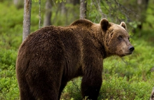 Οι αρκούδες της Τουρκίας επιλέγουν το Ανζέρ ή μέλι του Πόντου
